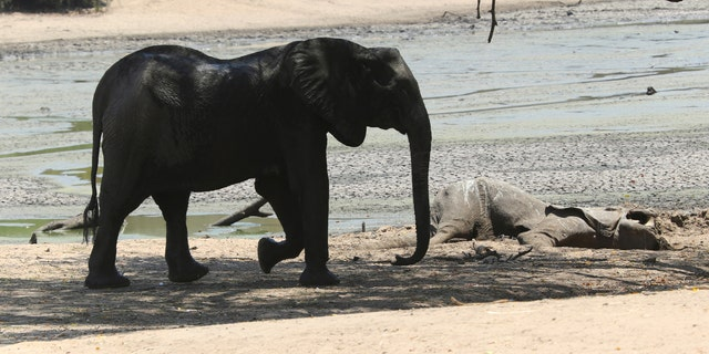 An elephant walks next to a carcass of another elephant in an almost dry pool in Mana Pools National Park, Zimbabwe.  (AP Photo/Tsvangirayi Mukwazhi)