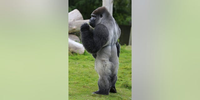 Ambam, a Western Lowland Gorilla, stands in his enclosure at Port Lympne Wild Animal Park near Ashford, Kent. He became an online sensation when footage of him aping humans with his unusual habit of walking upright was captured.