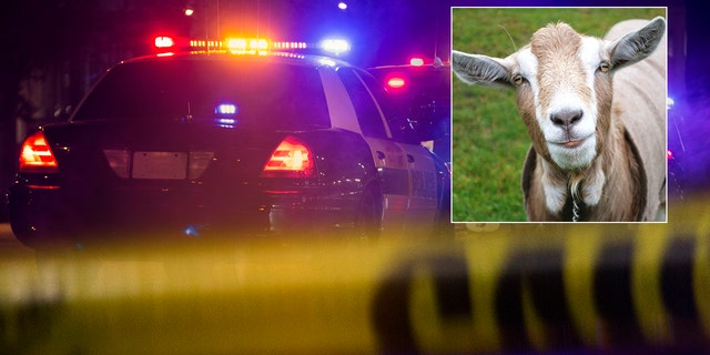 Westlake Legal Group goat-police-istock Alaska man arrested after allegedly smuggling $400G in drugs — stuffed in rotting goat intestines — at airport, officials say Nicole Darrah fox-news/us/us-regions/west/alaska fox-news/us/crime/drugs fox-news/us/crime fox-news/travel/general/airports fox-news/odd-news fox news fnc/us fnc article a6023cb0-6211-5cef-b829-148d96a66d59