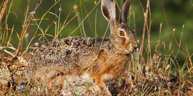 To prevent hares, like the one pictured above, from being sucked up into plane engines, Dublin Airport has taken proactive steps to manage wildlife living near its runways.