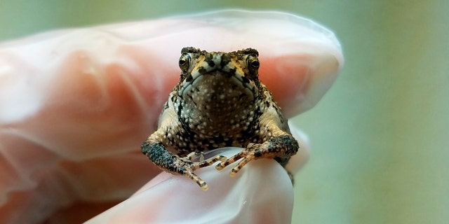 In this Sept 25, 2019 handout photo provided by the Fort Worth Zoo, Olaf is held by primary Puerto Rican crested toad zoo keeper Kelsey Barron, at the Fort Worth Zoo, in Fort Worth, Texas. (Fort Worth Zoo photo via AP)