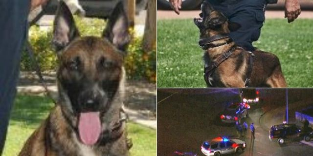 Koki, a K-9 officer with the El Mirage Police Department, was shot and killed while trying to catch a fleeing suspect on Friday night, the police chief said.