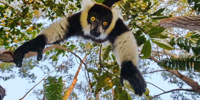 This is the hilarious moment a cheeky lemur hung upside down and tried to grab a camera from a photographer who was trying to take its photo. (Credit: SWNS)