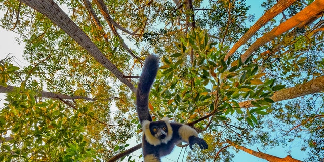 The funny photo which was taken in Andasibe National Park in Madagascar shows the animal staring directly down the lens while hanging upside down from a tree. (Credit: SWNS)
