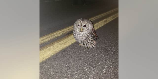 Westlake Legal Group maine-state-trooper-owl Maine owl gets lift in state trooper's patrol car after rescue Robert Gearty fox-news/us/us-regions/northeast/maine fox-news/us/crime/police-and-law-enforcement fox-news/science/wild-nature/birds fox-news/odd-news fox-news/good-news fox news fnc/us fnc article 9a812e56-b201-502f-a0c2-ec3c03a84c67