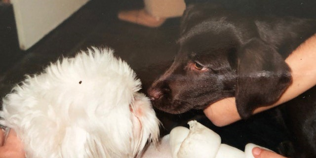 """Even yet Penny a lab was younger than Bartiromo's Maltese, named Ella Bella, Penny had a humorous robe of perplexing to """"eat"""" a tiny puppy by putting her face in her mouth."""