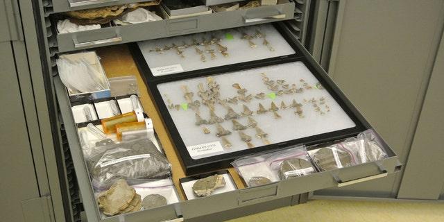 Trong ảnh là những chiếc răng và những bộ hài cốt khác từ hóa thạch cá mập thời khủng long được phát hiện ở Kansas có tên là Cretodus houghtonorum. (Tín dụng: Đại học DePaul / Kenshu Shimada)