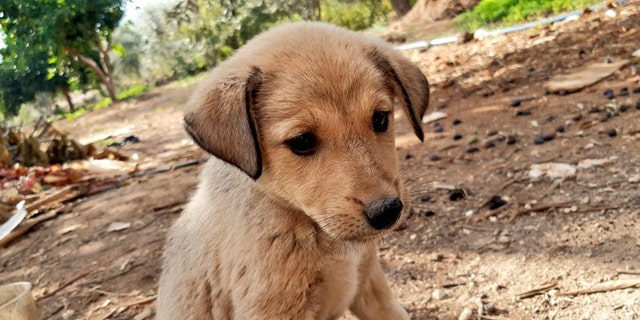 A young puppy orphaned in U.S. military operationthat killedISISleaderAbu Bakral-Baghdadi last Saturday has been rescued and reportedly adopted into a fur-ever home.(Fared Alhor)
