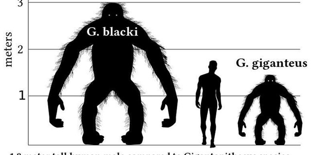 This is a comparison graph comparing the hight of a 1.8 meter tall human male with Gigantopithecus species. This graph is based on orangutan proportions in a bipedal stance. It is most likely that Gigantopithecus would have spent most of its time in a quadrupedal stance on all fours. (Credit: Discott)