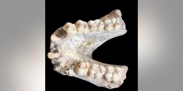 A Gigantopithecus blacki mandibula (P1-M2 = 74 mm). (Credit: Prof. Wei Wang; Photo retouching: Theis Jensen.)