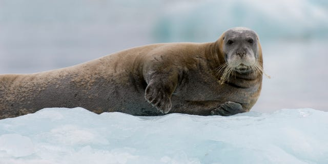 A Bearded seal (Erignathus barbatus) resting on an icefloe at the Lilliehook Glacier in Lilliehookfjorden, Svalbard, Norway.