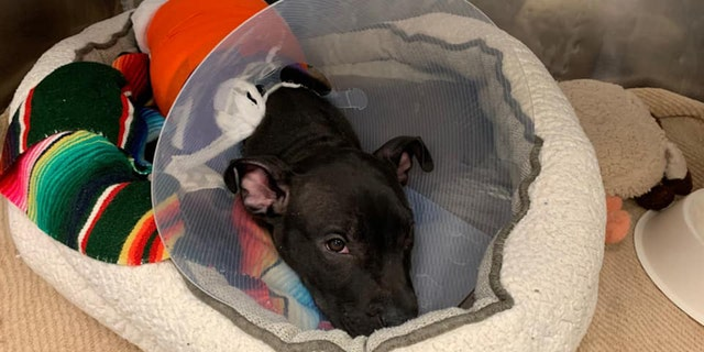 Tyler, a 3-month-old pit bull, was burned — possibly by a blowtorch— in Paterson, N.J., last week, animal rescuers said.
