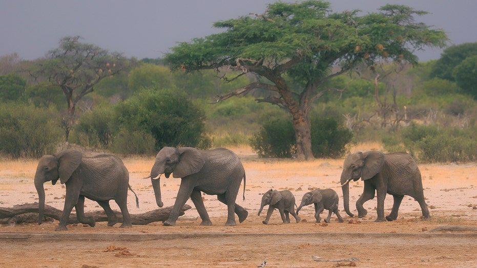 Mystery of Zimbabwe elephant deaths may be solved, as experts eye bacterial disease
