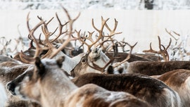 Reindeer starving in Arctic as ice piles on top of snow