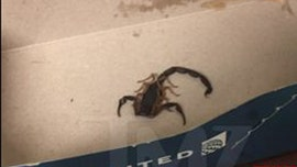 Scorpion on United Airlines flight stings passenger