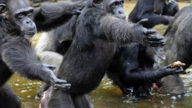 Coronavirus could be catastrophic for great apes, experts warn
