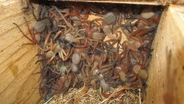Shocking photo of a colony of huntsman spiders living together found in Australia