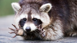 Drunk raccoon stumbles around German Christmas market, then shot by local hunter