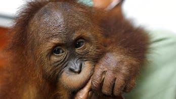 Baby orangutan drugged by Russian trafficker in Bali being returned to wild