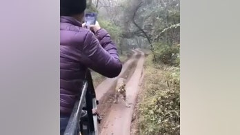 Tourist vehicle chased by tiger at India wildlife sanctuary, video shows