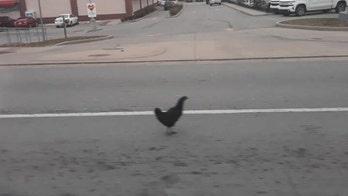 Squawk leads to Kentucky officers nabbing 'hostile' chicken: 'Into the beak of danger'