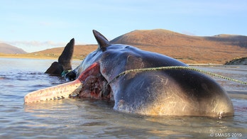 Sperm whale found dead on Scottish island 'explodes' during necropsy, had 220 pounds of trash in stomach