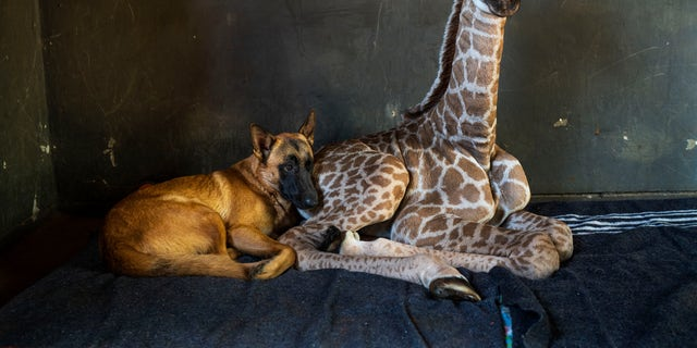 In this Friday Nov 22, 2019 file photo, Hunter, a young Belgian Malinois, keeps an eye on Jazz, a nine-day-old giraffe at the Rhino orphanage in the Limpopo province of South Africa. Jazz, who was brought in after being abandoned by his mother at birth, died of brain hemorrhaging and hyphema it was announced Friday, Dec. 6, 2019. (AP Photo/Jerome Delay)