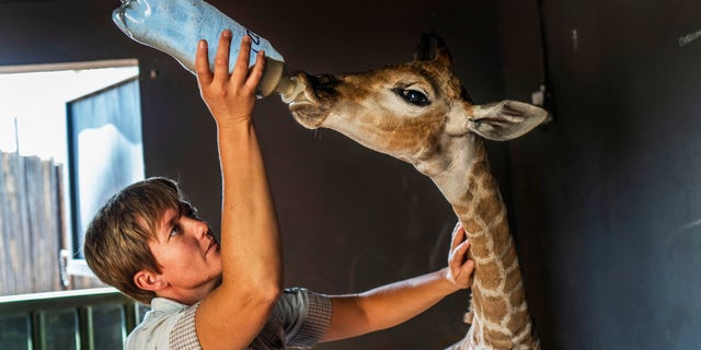 Janie Van Heerden fed Jazz, a 9-day-old giraffe at the Rhino orphanage in the Limpopo province of South Africa. (AP Photo/Jerome Delay)