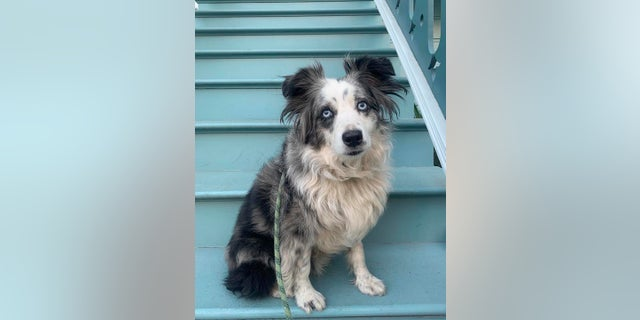 This undated photo provided by Emilie Talermo showing a blue-eyed miniature Australian Shepherd named Jackson, in San Francisco, Calif. (Emilie Talermo via AP)