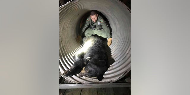 This provided by the Tennessee Wildlife Resources Agency shows TWRA officer Jeff Roberson with a bear caught after it was wandering around the University of Tennessee's baseball stadium in Knoxville. The 200-pound black bear showed up as a walk-on but ended up being sent back to its home territory. (Tennessee Wildlife Resources Agency via AP)