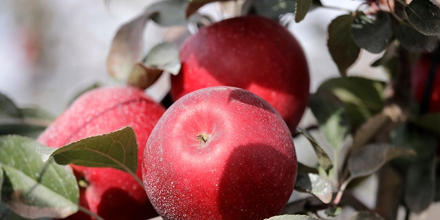 Cosmic Crisp apples, a new variety and the first-ever bred in Washington state, are ready to be picked. (AP Photo/Elaine Thompson)