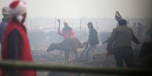A Hindu advocate binds leg of a buffalo as a grocer gets prepared to scapegoat a animal. (AP Photo/Samir Shrestha)