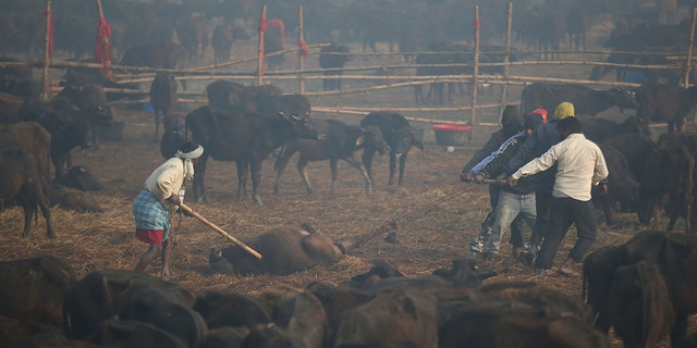 Thousands of buffalo awaited being sacrificed on Monday. An estimated 200,000 animals were killed during a ceremonies in 2014, sketch a madness of animal activists. (AP Photo/Samir Shrestha)