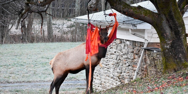 Westlake Legal Group Tangled-Elk On Thanksgiving, elk with love of apples gets tangled up in North Carolina man's hammock Frank Miles fox-news/us/us-regions/southeast/north-carolina fox-news/us/us-regions/southeast fox-news/science/wild-nature fox news fnc/us fnc article 04c97e39-3ad7-5662-868e-b390cf871487