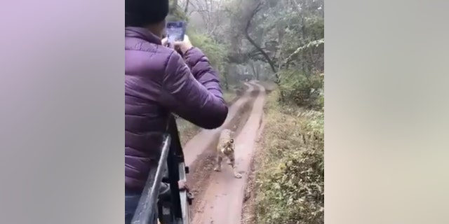 The tiger in the video was identified as a 3-year-old tigress named Sultana.