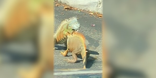 Viral videos show the iguanas battling it out in parking lots, and showing up in people's toilets.
