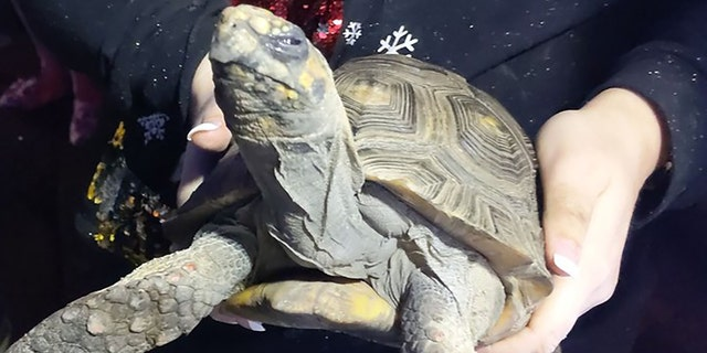 Westlake Legal Group angry-tortoise-england 'Angry' tortoise, 45, rescued after starting Christmas Day house fire in England Stephen Sorace fox-news/world/world-regions/united-kingdom fox-news/world/disasters/fires fox-news/special/occasions/christmas fox-news/science/wild-nature/reptiles fox-news/good-news fox news fnc/world fnc article 05a9ebde-c34e-5661-b1aa-0e8a2b20225b