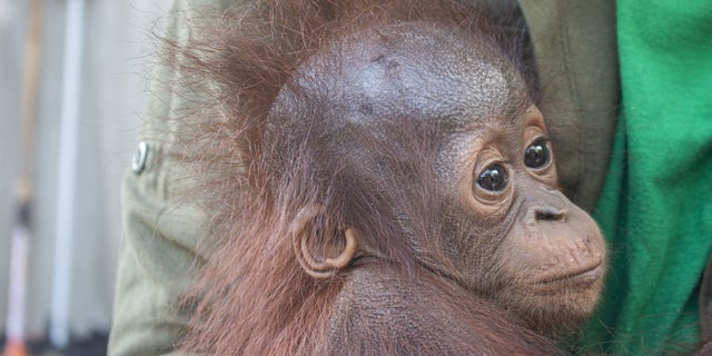 A baby orangutan was recovered by conservationists in Limpang, a village in Jelai Hulu District, Borneo, Indonesia. (SWNS)