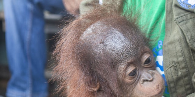 These images show the moment a baby orangutan, separated from its mother, was recovered by conservationists in Limpang, a village in Jelai Hulu District, Borneo, Indonesia.