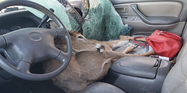 A deer ran out of the woods Thursday morning and crashed through the windshield of the woman's vehicle in Jones County, Georgia. The woman was not injured