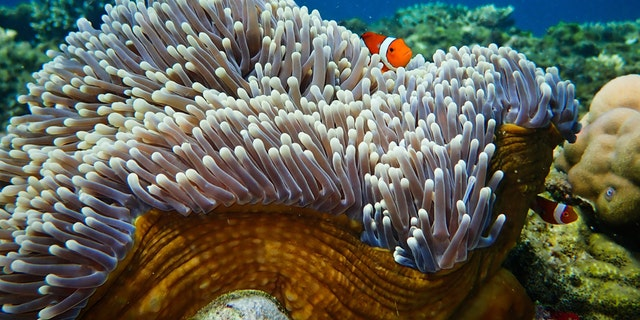 A clownfish in an anemone. (Credit: Tim Gordon, University of Exeter)