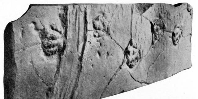 This slab of sandstone has been on display since 1896, showing off the scaly footprints of a prosauropod dinosaur. Scientists only recently realized that the deep grooves on the left may be the track of a sailing stone.