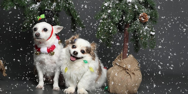"""Theholiday season can be overwhelming for both humans and pets, as evidenced by a small dog who was recently pictured suffering an """"existential crisis"""" during a wintery photo shoot."""