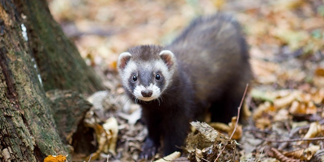 A 25-year-old man allegedly threw a pair of ferrets at cars in Harrogate, England, on Monday night.