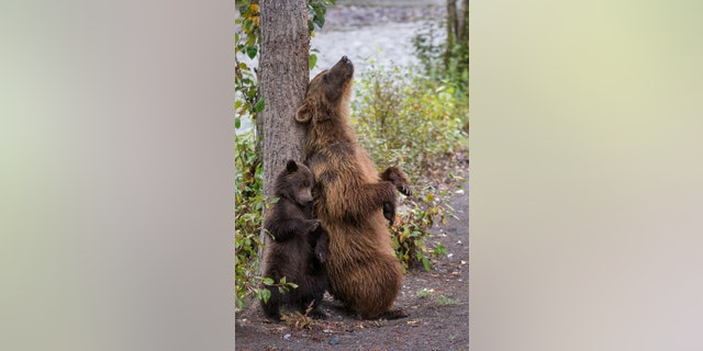 A mama bear teaches her cub to scratch its back on a tree near the Taku River in North British Columbia, Canada. (Credit: SWNS)