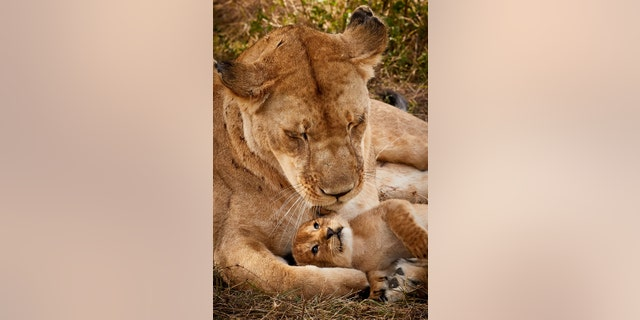 """Photographer Paul Mahagi said the days-old cub looked like Simba from the classic Disney film the """"Lion King."""" (Credit: SWNS)"""