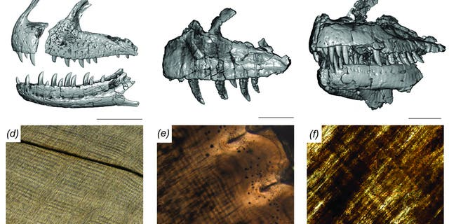 CT scan-generated models of the jaws of Majungasaurus (left), Ceratosaurus (center) and Allosaurus (right), with microscopic views of the interior of their teeth below each model. Stripes running from upper left to lower right in each microscopic image are daily deposited incremental lines, which allow the amount of time it took for a tooth to grow to be reconstructed. Credit: PLOS ONE