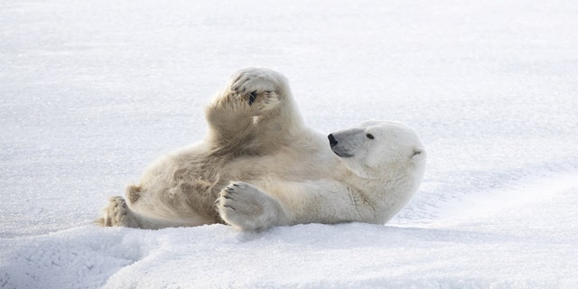 This chilled-out frigid bear appears to adopt a array of yoga poses as he frolics on a solidified lake. (Credit: SWNS)