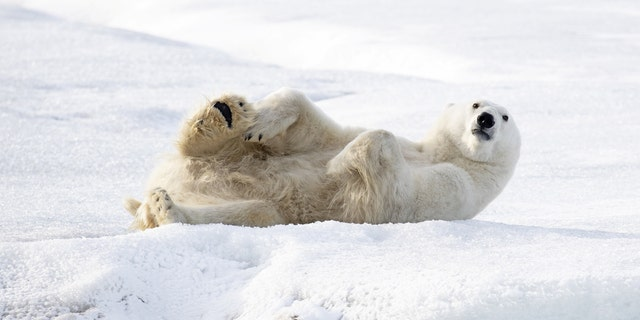 The hulk carnivore even performs a down dog poise with his fur-covered bottom adhering into a air. (Credit: SWNS)