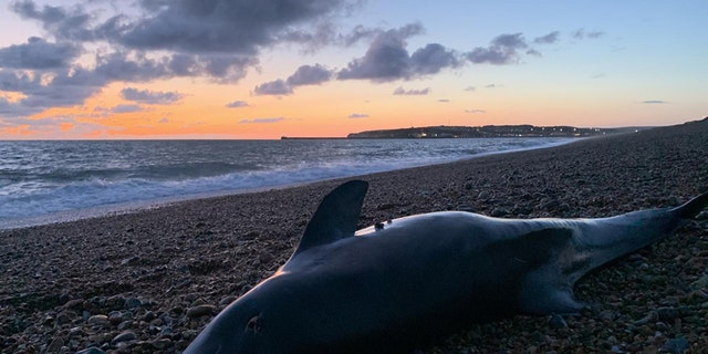 This is a harbor porpoise at Seaford. (Rob Deaville)